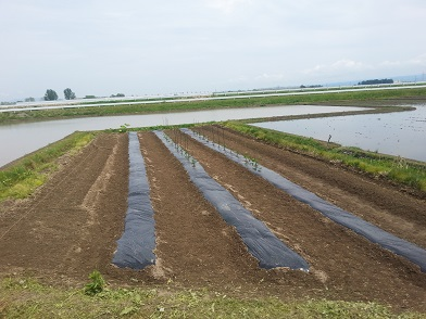 畑:苗植え3
